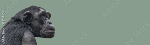 Photo Banner with a portrait of smart looking chimpanzee closeup with copy space and solid background