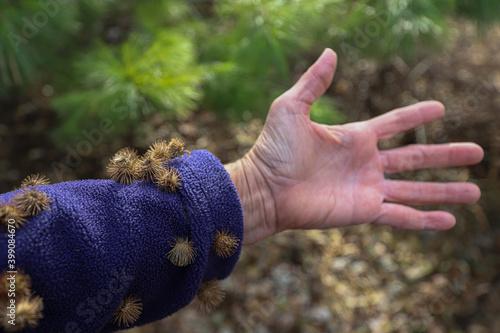 Fényképezés Fleece sleeve with burdock burrs stuck on them after a walk