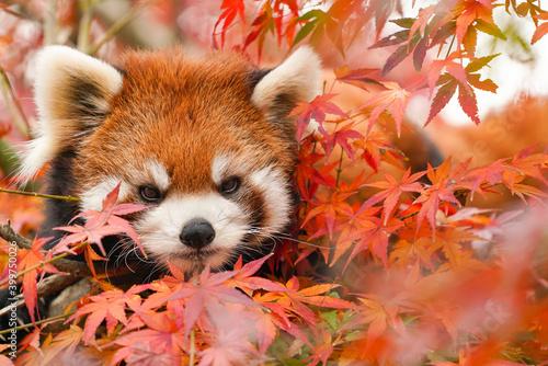 Fotografia red panda in the autumn forest