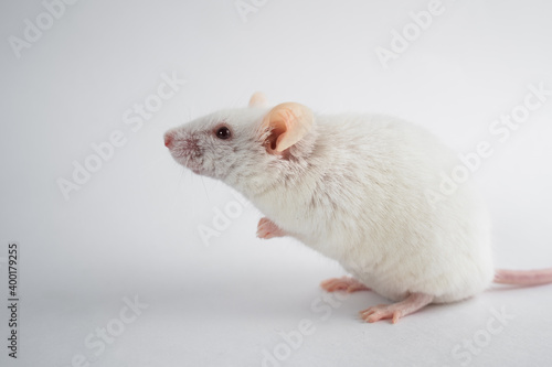 Obraz na plátne Lab rat stands on its hind legs and looks up