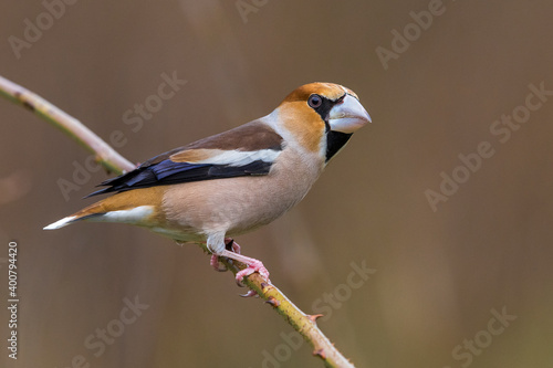 Appelvink; Hawfinch; Coccothraustes coccothraustes Fototapet