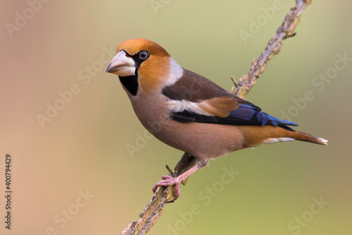 Fotografiet Appelvink; Hawfinch; Coccothraustes coccothraustes
