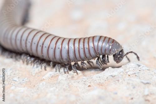 Fényképezés Ommatoiulus rutilans millipede walking on a concrete wall