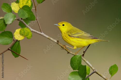 Fototapeta Yellow Warbler, Setophaga aestiva