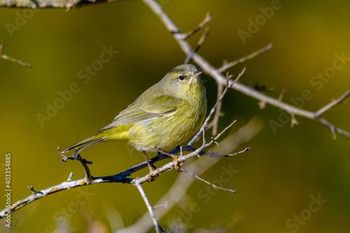 Fototapeta Orange-crowned Warbler -Leiothlypis celata