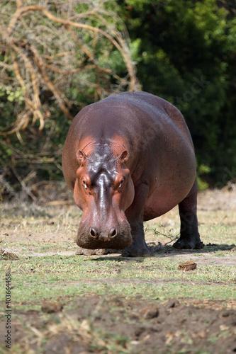 Fotografia, Obraz The common hippopotamus (Hippopotamus amphibius), or hippo grazing on the riverb