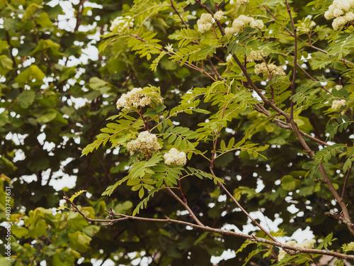 Sorbus aucuparia | Sorbier des oiseleurs | Sorbier des oiseaux | Sorbier sauvage Fotobehang
