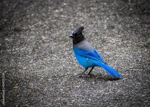 Fotografie, Obraz blue jay bird