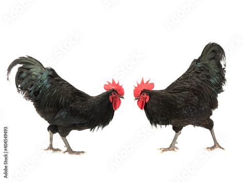 two black roosters look at each other isolated on white background Fototapet
