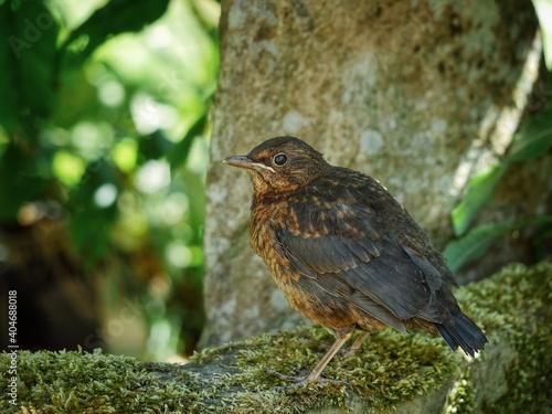 Leinwand Poster Portrait Of Young Blackbird  Fledgling