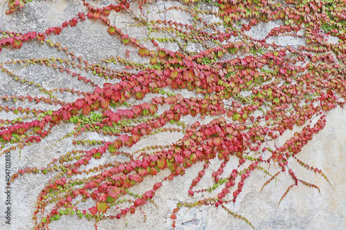 Creeper Plants Growing On Wall Fototapete