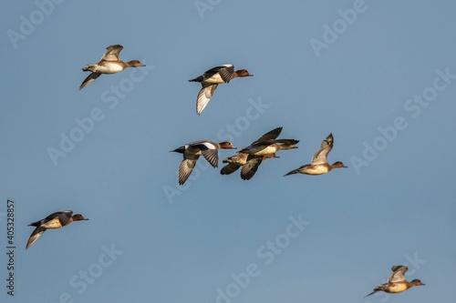 Wallpaper Mural Eurasian Wigeon, Mareca penelope birds in flight in sky