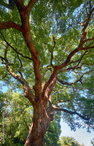 Fényképezés Cinnamomum camphora  tree in the Imperial Palace garden