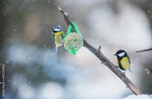 Fotografie, Obraz Beauty tit on a feeder