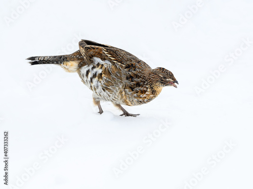 Canvas-taulu Ruffed Grouse Standing on Snow in Winter, Closeup Portrait