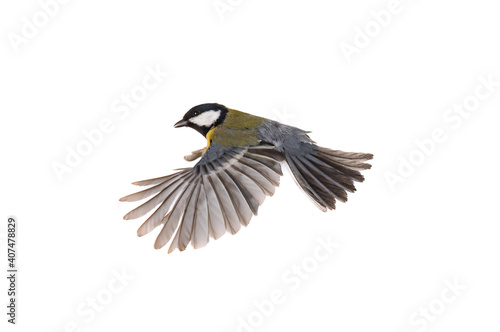 Fotografie, Obraz great tit flies with spread wings isolated on white background