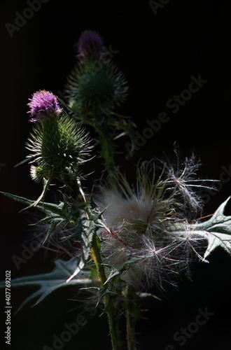 Fototapeta Thistle Blooms