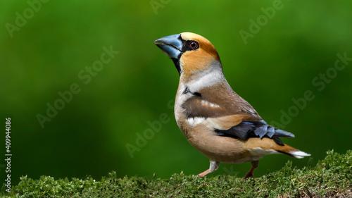 Obraz na płótnie Hawfinch sitting on the branch.