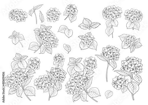 Fototapeta Set of line art hydrangea motifs.