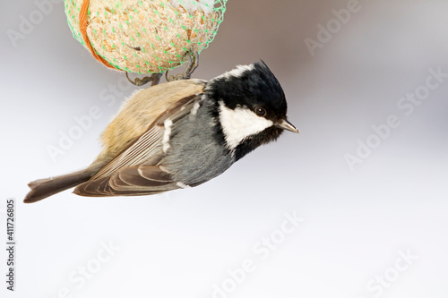 Tiny songbird hanging on a fat ball on a cold winter day Fototapete