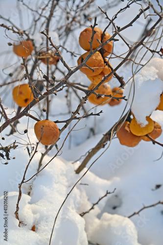 Canvastavla Orange fruits of Japanese quince (Chaenomeles japonica (Thunb