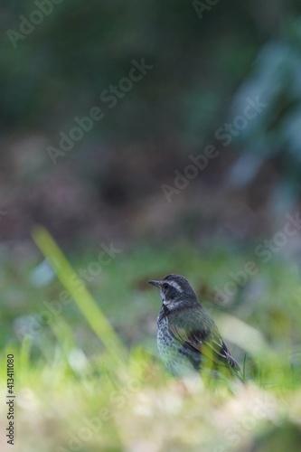 Fototapeta dusky thrush in the grass field