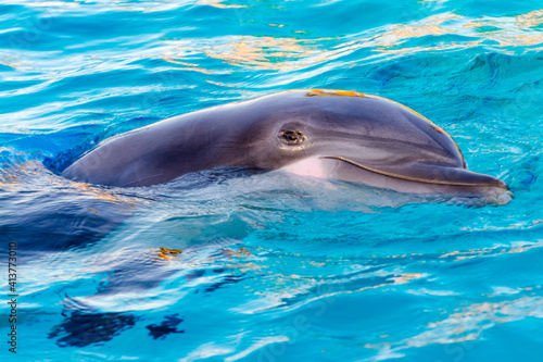 Photographie Bottlenose dolphin is in a dolphin show of a zoo