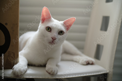Canvas Print Floki the cute white cat