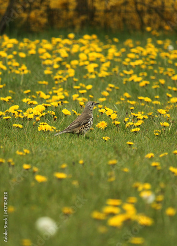 Fotografie, Obraz one bird thrush on a meadow in the grass with blooming dandelions