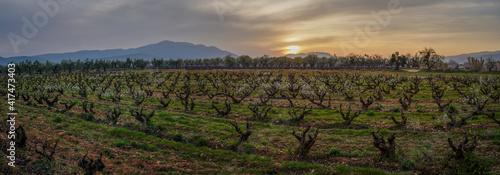 vineyards in winter at sunset in La Rioja