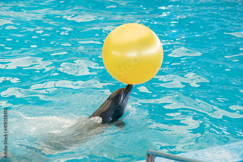 Dolphin playing in the pool water with yellow ball.