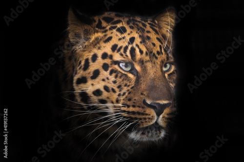 The proud face of a red-spotted powerful leopard cat