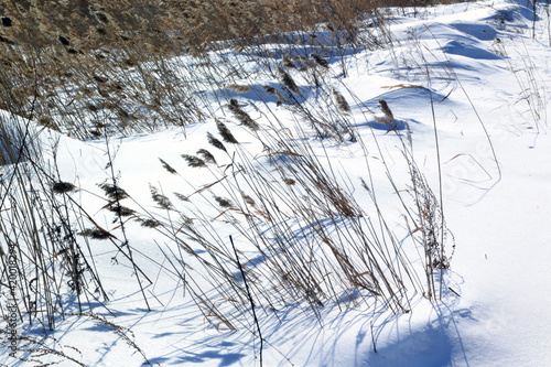 Fotografia reeds and sedge in the swamp in winter