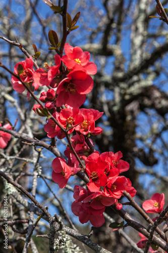 Canvas Allassac (Corrèze, France) - Cognassier du japon au printemps