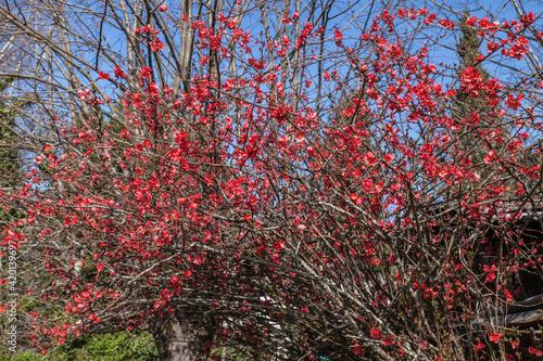 Allassac (Corrèze, France) - Cognassier du japon au printemps Fotobehang