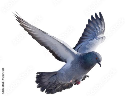 Foto isolated on white dark grey pigeon in flight