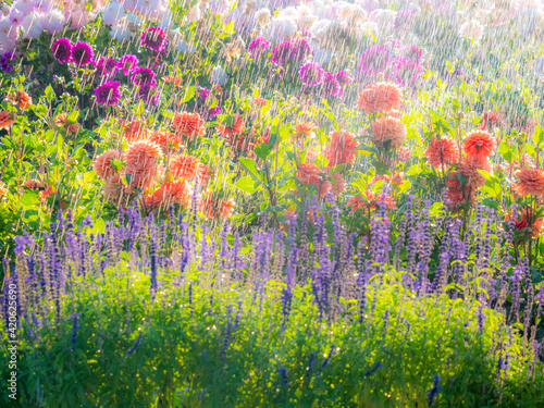 Fotografiet USA, Oregon, Canby, Swam Island Dahlias, water coming down on flowers