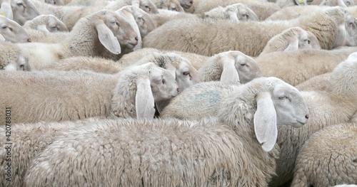 Obraz na plátně IMMUNITY of flock or HERD Immunity against diseases and viruses