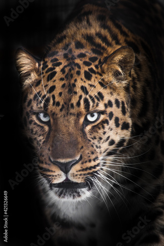 Severe serious muzzle of a leopard half-turned looks at you close-up from the night darkness