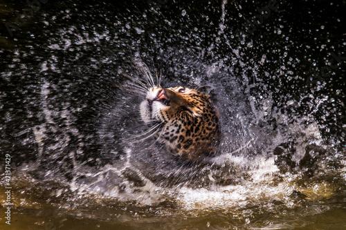 Fotografie, Obraz Jaguar photographed in captivity in Goias
