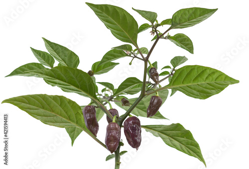 Obraz na płótnie hottest capsicum chinense, habanero chili peppers plant with purple, brownish ch