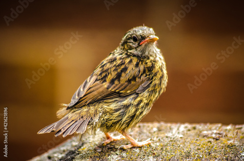 Close-up Of A House Sparrow Fledgling Fototapete