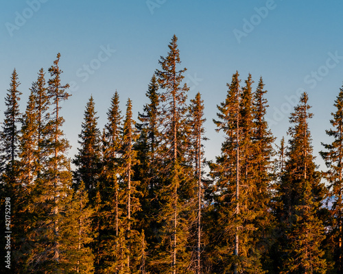 Fotografija Low Angle View Of Pine Trees In Forest Against Sky