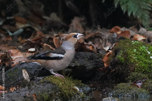 Fotografie, Obraz hawfinch in the forest