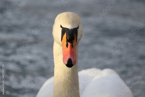 Photo Close-up Of Swan In Lake