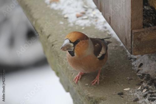 Fotografia hawfinch in the winter