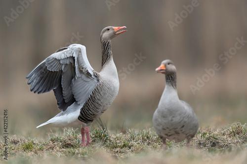 Tableau sur Toile Greylag goose (Anser anser) close up