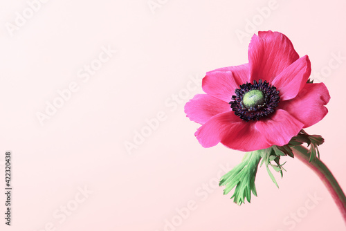 Wallpaper Mural Pink background decorated with fresh vibrant summer flower anemone