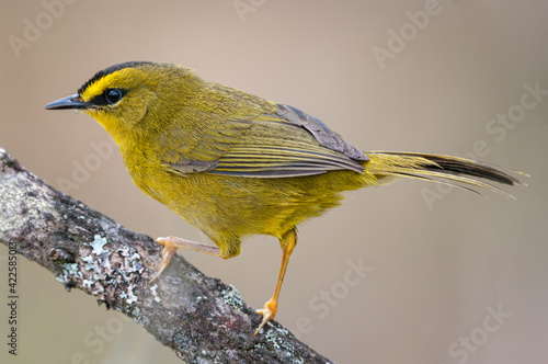 Fotografie, Obraz Black-crested Warbler (Myiothlypis nigrocristata) resting peacefully on a tree b