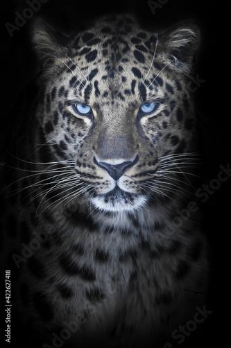 Leopard in night moonlight, blue eyes glow, discolored fur black background,  portrait